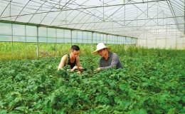 西藏墨脱:蔬菜种植规模化