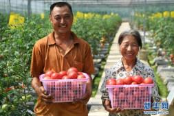恒达登录地址_无土栽培的西红柿熟了