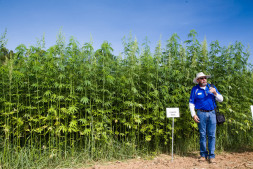 恒达代理平台_贸易摩擦不休 美国农民把目光转向工业大麻种植