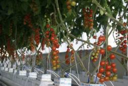 恒达公测_腾讯智慧农业新进展:让AI种番茄,国际智慧温室种植大赛启动