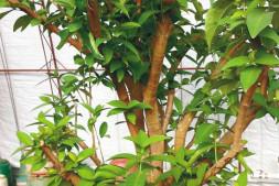 c恒达注册首页_辽宁沈阳市沈北温室种出热带水果