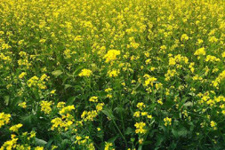 恒达平台_华中农大周永明课题组鉴定到一个控制甘蓝型油菜油酸含量的新位点