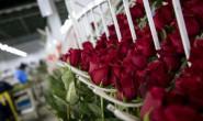 恒达平台_厄瓜多尔玫瑰花 送给中国心上人