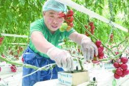 恒达平台登录_北京5个品种小番茄即将上市