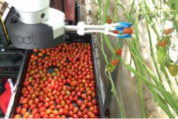 恒达注册账号_新型番茄采摘智能机器人在美国加州温室测试