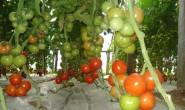 恒达注册_棚室越冬茬蔬菜如何更耐低温?专家有妙招!