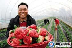 恒达登录_大棚草莓红