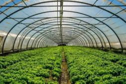 恒达公测_茶黄螨危害大,棚室蔬菜如何防治