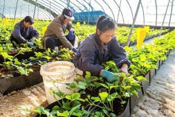 恒达代理平台_河南农民大棚草莓用北京熊蜂授粉,单果重提高二成