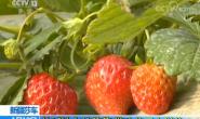 恒达注册登录_新疆莎车:盐碱地上种草莓 带动贫困户脱贫
