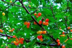 恒达注册账号_樱桃树用什么方法能促花?种植效益有多高?