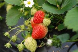 恒达正规么_北京举办草莓擂台赛 种植大户争相来打擂