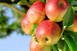 """恒达公测_我国发布两大苹果新品种 """"瑞阳""""""""瑞雪""""有望成为西北苹果新主力(图)"""