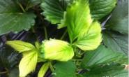恒达注册_大棚草莓的5大生长周期及各时期的用药用肥方案汇总