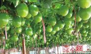 恒达娱乐_福建援疆专家指导培育百香果昌吉州推广种植