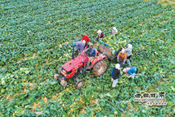 恒达代理平台_山丹马场8800余亩秋季蔬菜迎来收获期