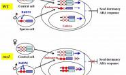 恒达注册_PNAS|黄朝锋和朱健康课题组合作发现DNA去甲基化酶ROS1负调控基因印记和种子休眠的新机制