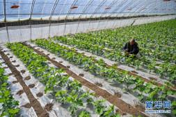 恒达登录_内蒙古乌兰察布:设施农业复工复产助农增收