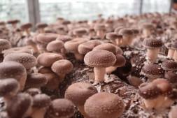 恒达注册登录_贵州5800万专项资金下拨助力食用菌产业脱贫攻坚
