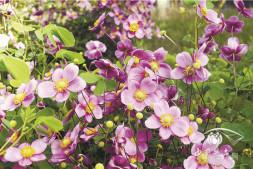 恒达招商_打破碗花花有毒的美艳之花 打破碗花花Anemone hupehensis 毛茛科 银莲花属
