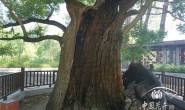 恒达注册账号_从一棵2000岁槐树的复壮看北京古树名木保护
