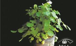 恒达娱乐_唐松草中的小众产品———华东唐松草