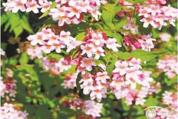 恒达开户测速_用花灌木营造一个四季有花的花园(下)
