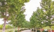 恒达公测_昔日低洼地今成景观区 记徐州都市田园农业发展股份有限公司的苗木基地