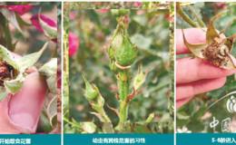 恒达开户测速_如何高效解决月季虫害问题