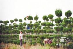 恒达注册账号_从那年外出考察后,有人砍掉了上百亩垃圾苗起 德州苗木酝酿行业动能转换