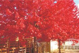 c恒达注册首页_'缤纷秋色'彩叶树中的极品