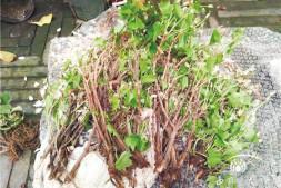 恒达娱乐_北京槭叶铁线莲被盗挖 多方呼吁应尽快修改野生植物保护条例
