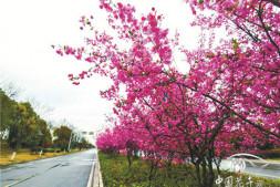 恒达登录_如皋:美丽的垂丝海棠开了