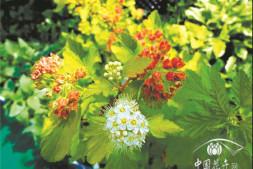 恒达娱待遇_观叶效果极好的9个乔、灌树种