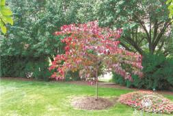 恒达公测_三季色叶各不同的加拿大紫荆'森林三色堇'