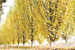 恒达公测_精品彩叶乔木在园林景观中的应用