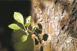 恒达公测_树木下端冒小芽竟是大隐患