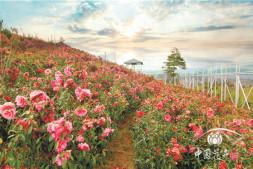 恒达信誉吗_用娇贵难养的山茶在云南大理荒山上种出一片花海 疫情结束茶花谷免费邀约抗疫英雄来赏花