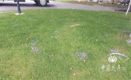 恒达公测_夏季警惕草坪黑粉病的发生