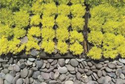 恒达登录_轻型屋顶佛甲草绿化技术草苗培育与养护应注意的问题(上)