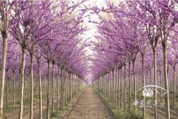 恒达娱乐_湖北紫荆新品种———'四季春1号'的栽培技术要点
