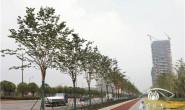 恒达正规么_为什么要用紫荆树? 南京市政绿化专家顾问的理由让人信服