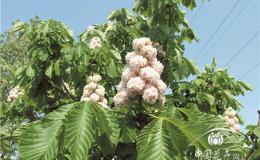 恒达代理平台_日本七叶树的栽培要点