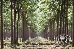 恒达注册_梓树———行道树颜值新担当