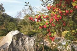 恒达信誉吗_火棘———一幅烂漫红艳的风景画