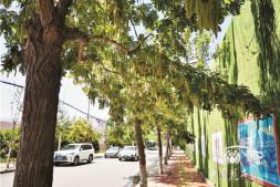 恒达注册_谈新品种的景观应用与发展———以'四季春1号'紫荆树为例