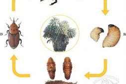恒达注册_南方棕榈科植物红棕象甲防治技术