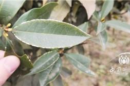 恒达代理平台_南方春季园林植物病虫害防治要点