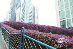 """恒达平台登录_""""花城""""系列报道之一 一种花,点亮一座城"""