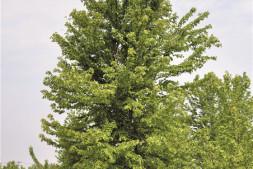 恒达开户测速_美国红枫、欧洲小叶椴和科罗拉多蓝杉养护流程 (三)
